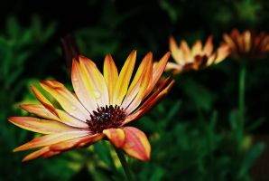 Cape Daisy by Gerard1972