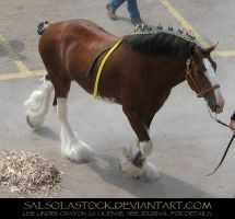 Clydesdale 12 by SalsolaStock