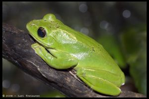 Green Tree Frog 3 by Vamppy