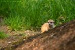 Little Meerkat by The-Other-Half-Of-Me