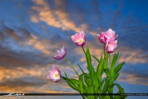 Tulip-Flower-Sunset-Sky-and-Clouds by CaptainKimo