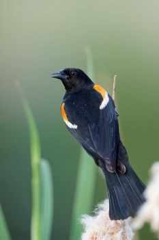 Red-winged Blackbird - Catail Perch by JestePhotography