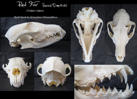 Skull Stock: Domestic Red Fox by Krissyfawx