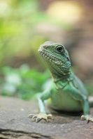 Chinese water dragon by TriinErg