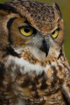 owl by photographybypixie