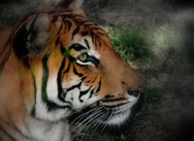 retrato de tigre by gonzmm