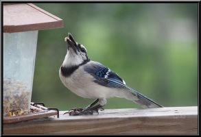 Feeding The Blue Jay by SalemCat