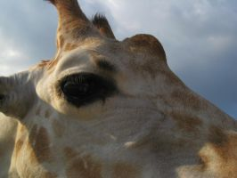 stock: Giraffe 5 by equizotical