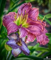 Pink and Purple Lily's HDR by mjohanson