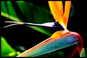 bird of paradise by JordanWalker