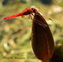 red-dragonfly II by fotoponono