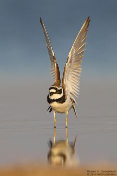 Little Ringed Plover by RichardConstantinoff