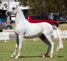 STOCK - TotR Arabians 2013-331 by fillyrox