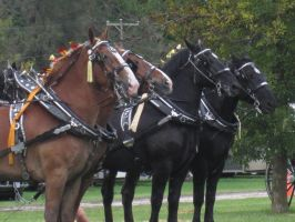 Percherons And Belgians Oh My by sfaber95