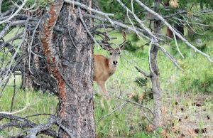 Mule Deer Buck by FranklymyDeer