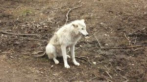 Sitting White Wolf - Stock by Desperation-Stock