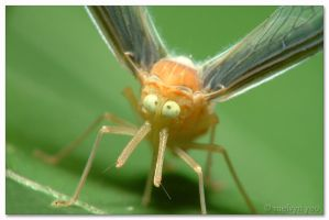 Cross-eyed Planthopper (Dictyopharidae sp.) by melvynyeo