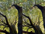 Looking Up At A Beech Tree Branch by aegiandyad