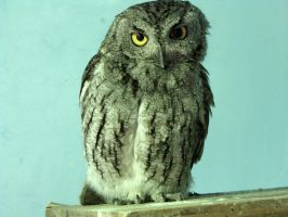 Eastern Screech Owl by Teh-Pandacoon