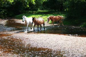 New Forest Ponies Crossing by lorni3