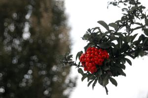Not Desaturated Berries by BlindedVisions