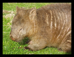 MM: Wombat by PopClicK