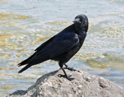 crow by clandestine-stock