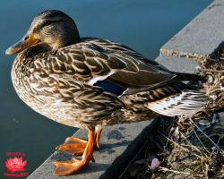 Duck Out of Water by MeKamalaPhotography