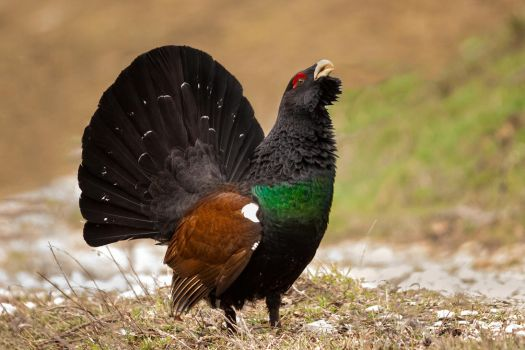Capercaillie by MarvinDiehl