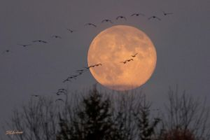 Canada Geese Moon rise by DGAnder