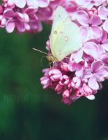 Colias by MaddLouise