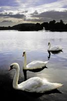 Swan Perspective by Coigach