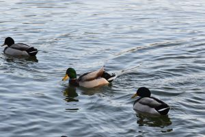 Successful of pond landing of duck by A1Z2E3R