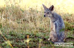 Young Black-Backed Jackal by OnyxHavok