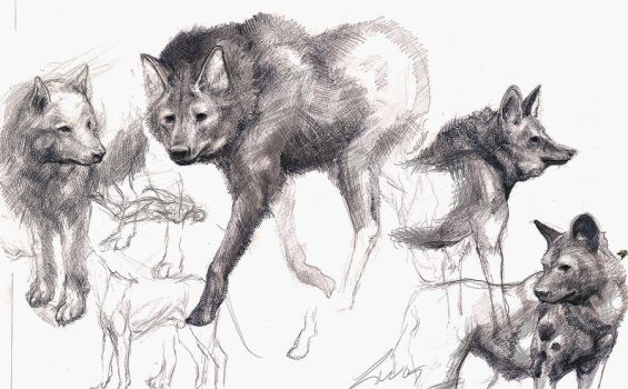 Canine sketches by LindseyWArt