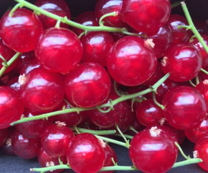 Red currant by giart1