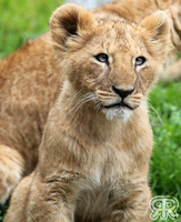 Lion Cub by Renathory
