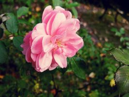 pink flower by imazhe