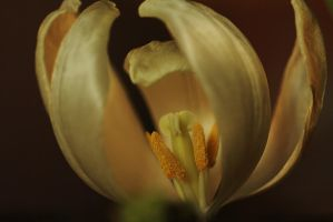 close-up tulip, by marob0501