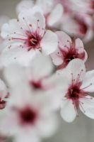 Cherry Blossoms 5 by sd-stock