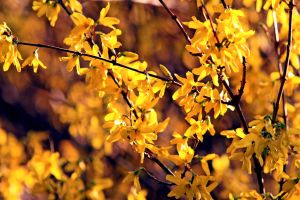 Forsythia by clippercarrillo