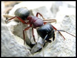 Ant by Bokor