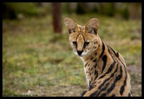 serval by morho