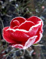 frosted red rose by April-Mo