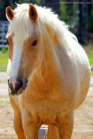 Beautiful Palomino. by pasofino6