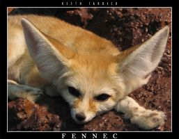 Fennec by Keith-Killer