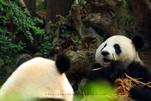 Panda Conversation by couleur