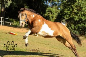 VR Pinto striking out leap at camera by Chunga-Stock