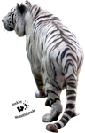 Cut-out stock PNG 24 - white tiger back by Momotte2stocks