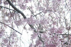 cherry blossoms VII by breakeric